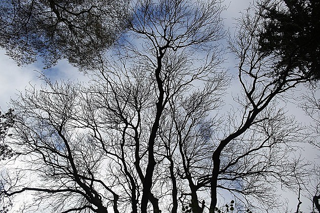 Ash Trees Under Threat