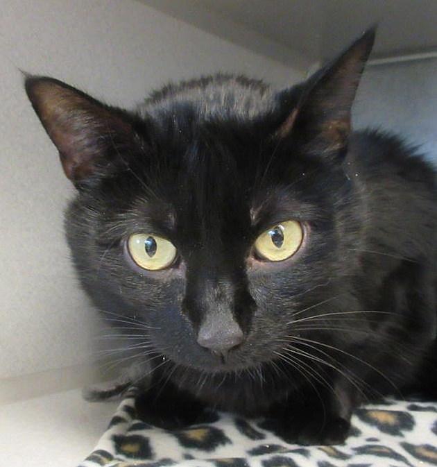 15 Black Cats For Adoption In Cedar Rapids Photos