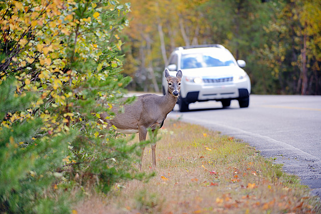 Deer on the edge of the road just before vehicle